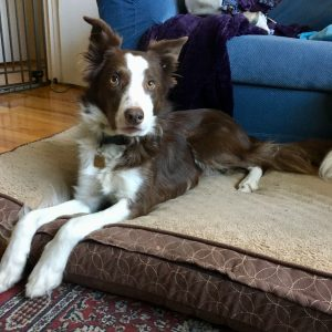 Border collie lying patiently on a dog bed
