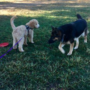 Goldendoodle puppy meeting a German shepherd