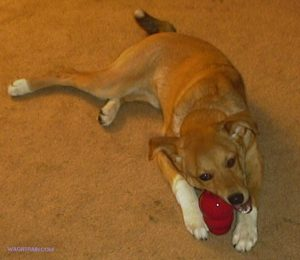 A young dog chews on a red rubber dog toy