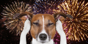 A terrier holds its paws to its ears with eyes closed, as if trying to block out the sounds of the fireworks display behind it.