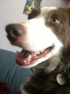 A young brown-and-white border collie looks up expectantly