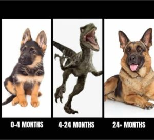 Image is three panels allegedly showing stages of a German shepherd dog: 0-4 months: adorable puppy. 4-24 months: attacking velociraptor. 24+ months: lovely mature dog